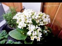 식물재배기 파쯔파쯔에 무엇을 키울까? 1편 : 꽃