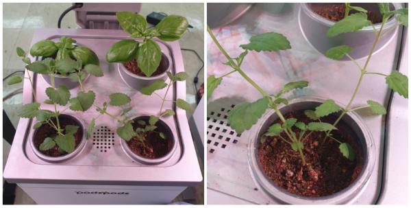 [허브키우기(4)] 이사 난리통에도 잘 자란 바닢이들! 캣닢을 수확하긴 했는데.../ 가정용식물재배기 / 우리텃밭 파쯔파쯔
