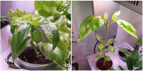 씨앗 없이 번식시킬 수 있는 잎꽂이와 줄기꽂이 방법/ 우리텃밭 파쯔파쯔 / 가정용식물재배기