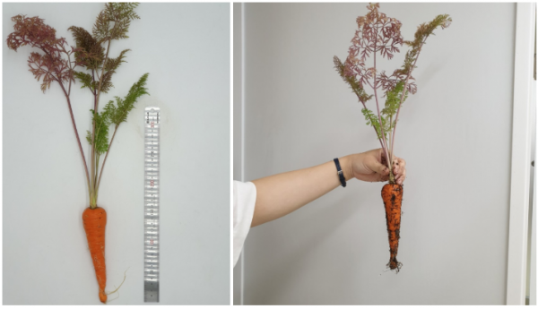 파쯔파쯔에서 엄청 긴 당근 수확한 후기 / 가정용식물재배기 / 우리텃밭 파쯔파쯔