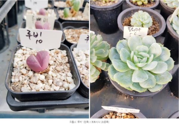 다육시장에 다녀왔어요! / 우리텃밭 파쯔파쯔 / 가정용식물재배기