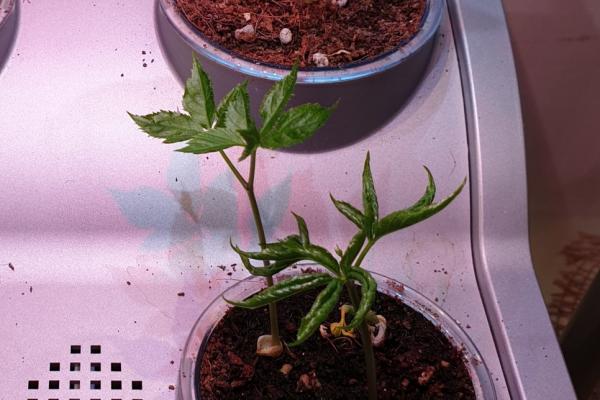 새싹삼의 효능 및 재배 방법 / 우리텃밭 파쯔파쯔 / 가정용식물재배기