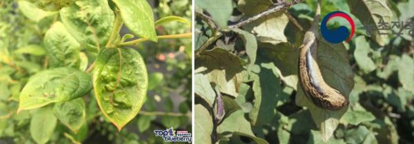 해충과의 전쟁(3) : 총채벌레 / 우리텃밭 파쯔파쯔 / 가정용 식물재배기