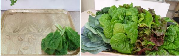 그냥 수확했을 뿐인데...잎채소가 풍년!? / 우리텃밭 파쯔파쯔 / 가정용 식물재배기