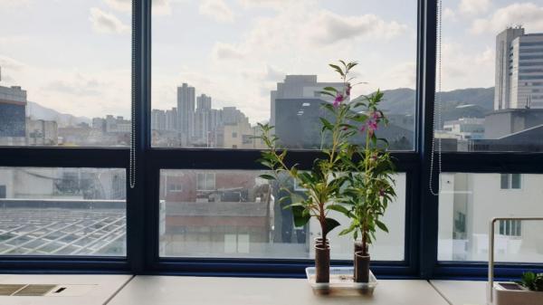 봉선화 꽃 피우다! / 우리텃밭 파쯔파쯔 / 가정용 식물재배기