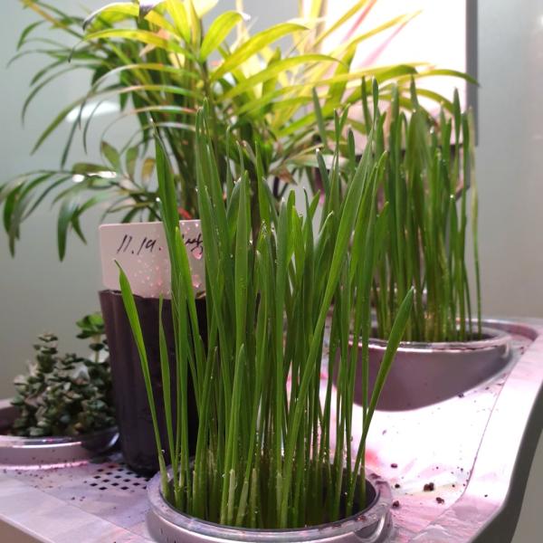 밀싹 키워서 해독 주스 만들어 먹기 / 우리텃밭 파쯔파쯔 / 가정용 식물재배기